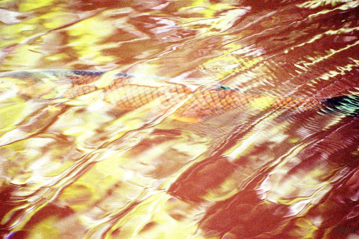 Gold Fish   Emmanuelle Prosper